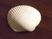 cropped smooth shell