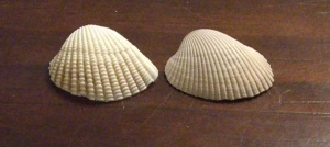 cropped two shells